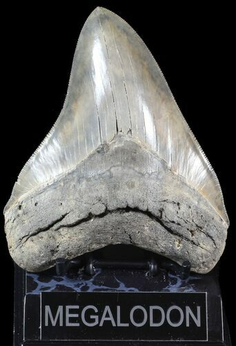 "Serrated, 5.32"" Megalodon Tooth - Glossy Enamel"