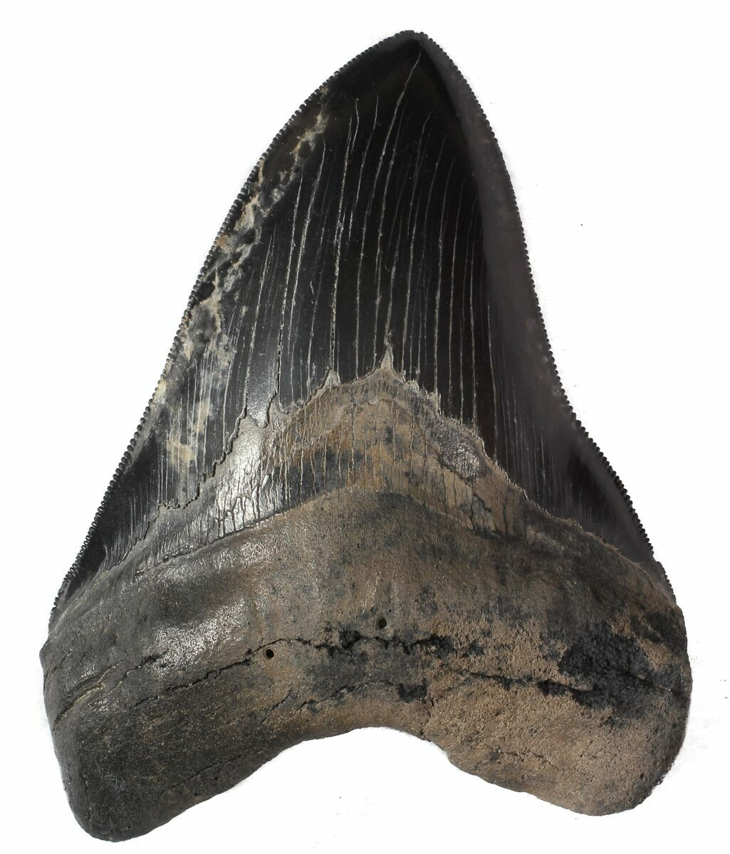 """Serrated, 4.81"""" Megalodon Tooth"""