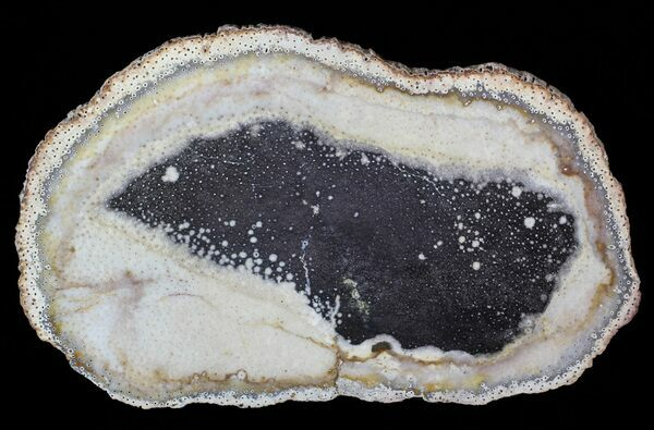 A polished slab of petrified palmwood from Texas showing the distinctive vascular structure in cross-section.
