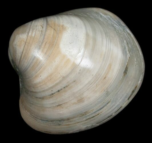 Polished Fossil Clam - Medium Size
