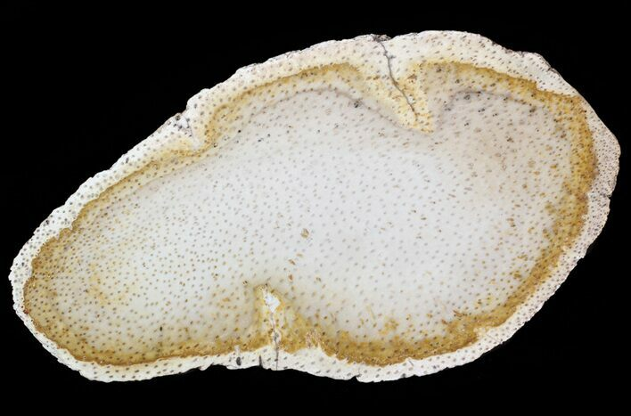 "10.1"" Petrified Palmwood (Palmoxylon) Slab - Texas"