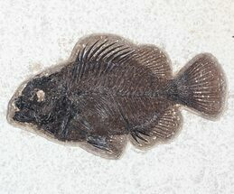 "4.9"" Priscacara Fossil Fish - Wyoming For Sale, #63356"