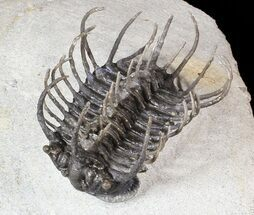 "Large, 2"" Spiny Koneprusia Trilobite For Sale, #63377"