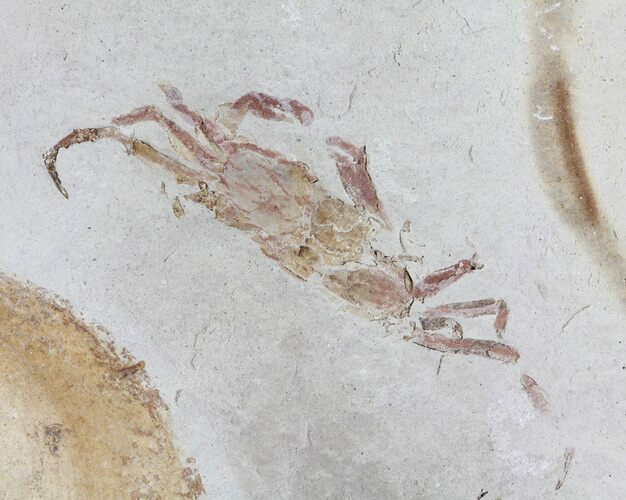 "1.4"" Fossil Pea Crab (Pinnixa) From California - Miocene"