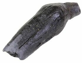 "Buy 3.6"" Fossil Whale Tooth - South Carolina - #63568"