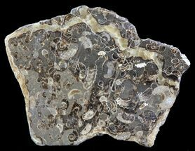 "5.3"" Polished Ammonite Fossil Slab - ""Marston Magna Marble"" For Sale, #63854"