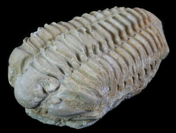 A Calymene celebra trilobite collected from the Niagara dolomite in neighboring Illinois.