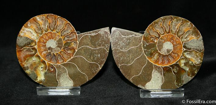 3.45 Inch Cut and Polished Ammonite