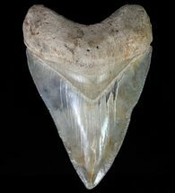 Carcharocles megalodon - Fossils For Sale - #64542