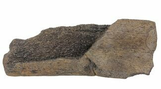 "5.8"" Fossil Whale Bone - Shark Tooth Marks (Megalodon?) For Sale, #64301"
