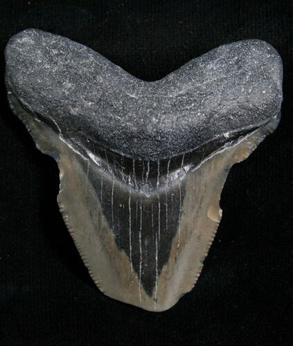 "Bargain 2.12"" Megalodon Tooth - Florida"