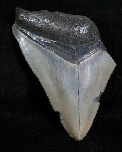 "Bargain 2.45"" Megalodon Tooth - Florida"