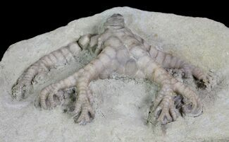 "2.3"" Onychocrinus Crinoid Fossil - Indiana For Sale, #66041"