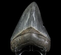 Carcharocles megalodon - Fossils For Sale - #66087