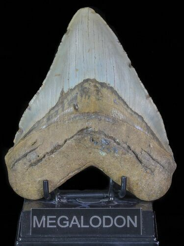 "Large, 5.55"" Fossil Megalodon Tooth - North Carolina"
