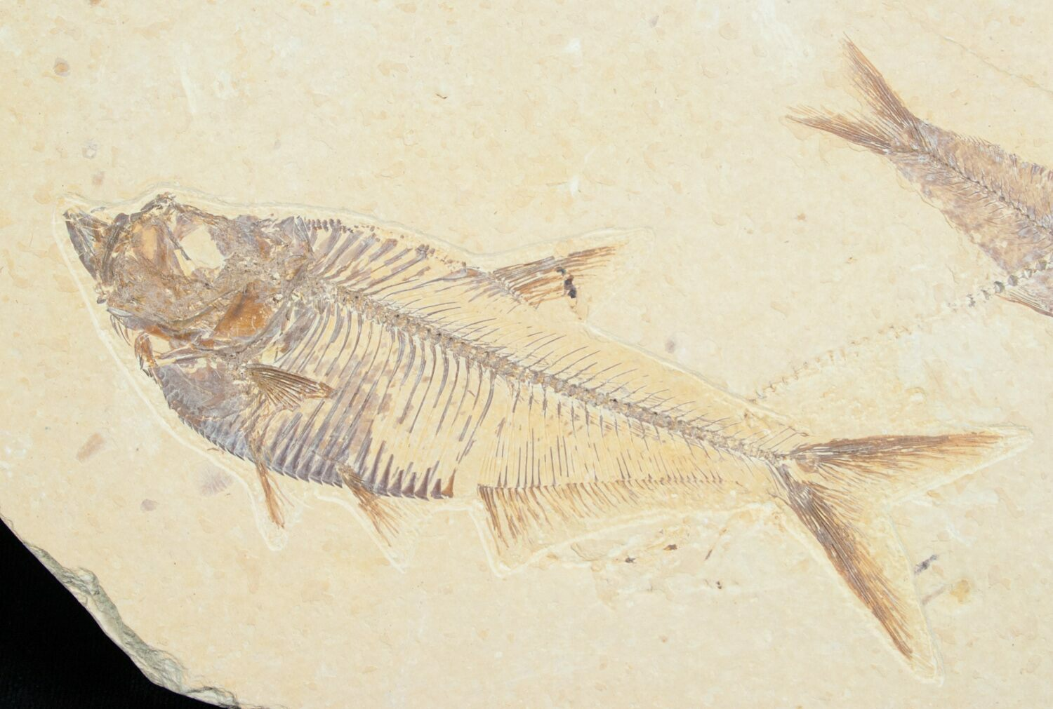 Diplomystus knightia fossil fish plate for sale 5479 for Fish fossils for sale