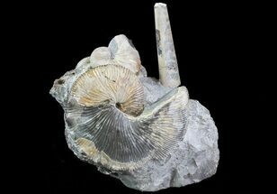 Hoploscaphities brevis, Baculites compressus - Fossils For Sale - #6123