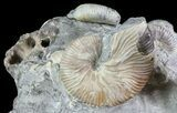 Ammonite (Hoploscaphites) & Baculites Association - South Dakota - #6123-2