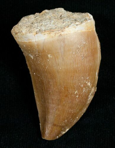 "1.52"" Mosasaur Tooth Free Of Matrix"