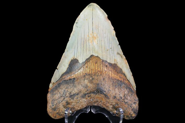 "Bargain, 4.6"" Megalodon Tooth - North Carolina"