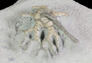 Hylodecrinus briareus - Fossils For Sale - #66042