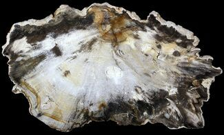 Beech - Fossils For Sale - #62679