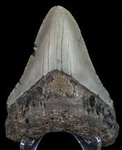 Carcharocles megalodon - Fossils For Sale - #67137