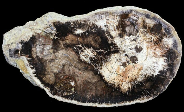 "7.9"" Polished Petrified Wood (Oak) Slab - Oregon"