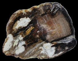 "6.8"" Polished Petrified Wood (Oak) Slab - Oregon For Sale, #68021"