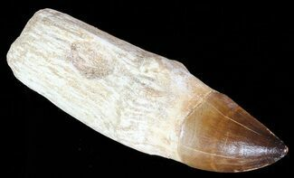 "5.8"" Rooted Mosasaur (Prognathodon) Tooth - Beastly For Sale, #67955"