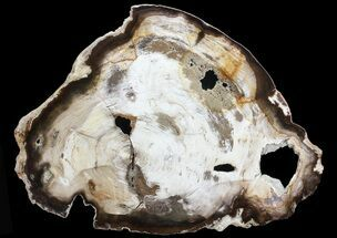 "11.7"" Petrified Wood (Hickory) Slab - Deschutes River, Oregon For Sale, #68129"