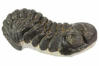 "2.4"" Austerops Trilobite Fossil - Rock Removed For Sale, #67037"