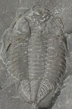 "2.1"" Dalmanites Trilobite Negative - New York For Sale, #68540"