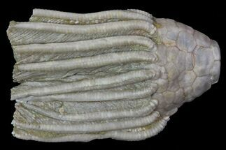 "Bargain, 1.35"" Macrocrinus Crinoid Fossil - Crawfordsville, Indiana For Sale, #68498"