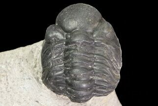 "Bargain, .9"" Reedops Trilobite Fossil - Good Eye Facets For Sale, #68654"