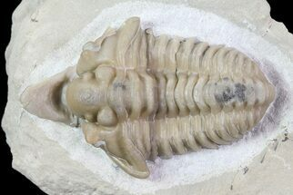 "Buy Excellent, 1.4"" Spathacalymene Trilobite (Rare) - Indiana - #68860"