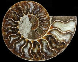 "3.3"" Agatized Ammonite Fossil (Half)  For Sale, #68825"