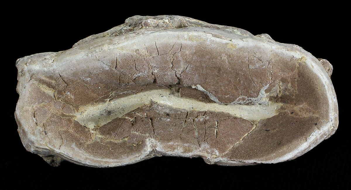 "2.3"" Xiphactinus (Cretaceous Fish) Vertebrae - Kansas For ..."
