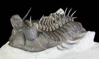 "Buy 2"" Tower Eyed Erbenochile Trilobite - Stunning! - #69571"