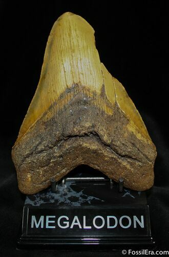 Nearly 6 Inch Megalodon Tooth From SC