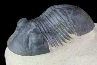 "Buy 2.3"" Paralejurus Trilobite Fossil - Foum Zguid, Morocco - #70072"