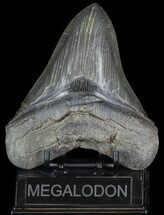 Carcharocles megalodon - Fossils For Sale - #70764