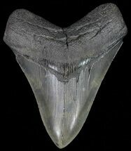 "Buy Serrated, 4.24"" Fossil Megalodon Tooth - South Carolina - #70768"
