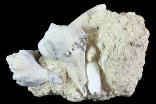 "Buy 3.6"" Tall Miocene Fossil (Gastropod) Cluster - France - #70873"