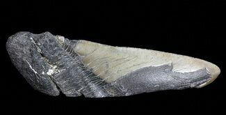 Carcharocles megalodon - Fossils For Sale - #70545