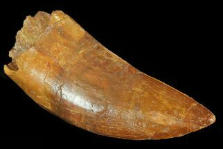"4.25"" Carcharodontosaurus Tooth - Great Serrations For Sale, #71102"