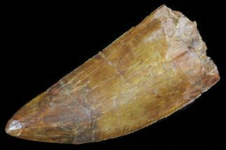 "Buy 4.82"" Carcharodontosaurus Tooth - Beastly Dino Tooth - #71170"