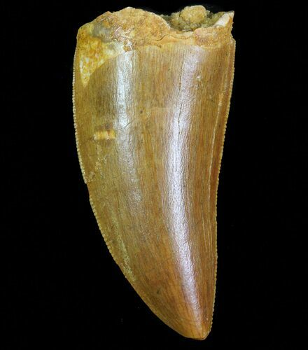 "Serrated, 1.85"" Carcharodontosaurus Tooth - Robust Tooth"