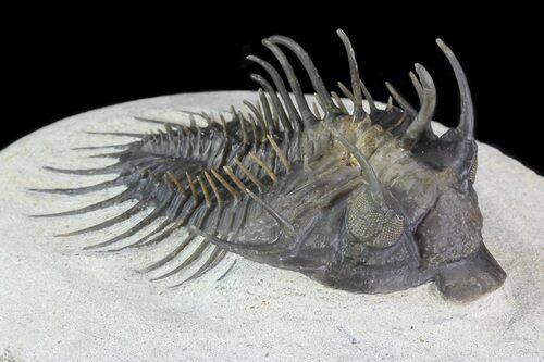 Comura trilobite fossil from Morocco