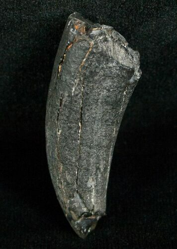 Miocene Aged Fossil Whale Tooth - 1.62""